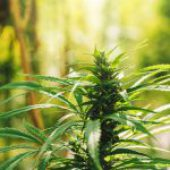 Cannabis and the Residential Tenancy Act